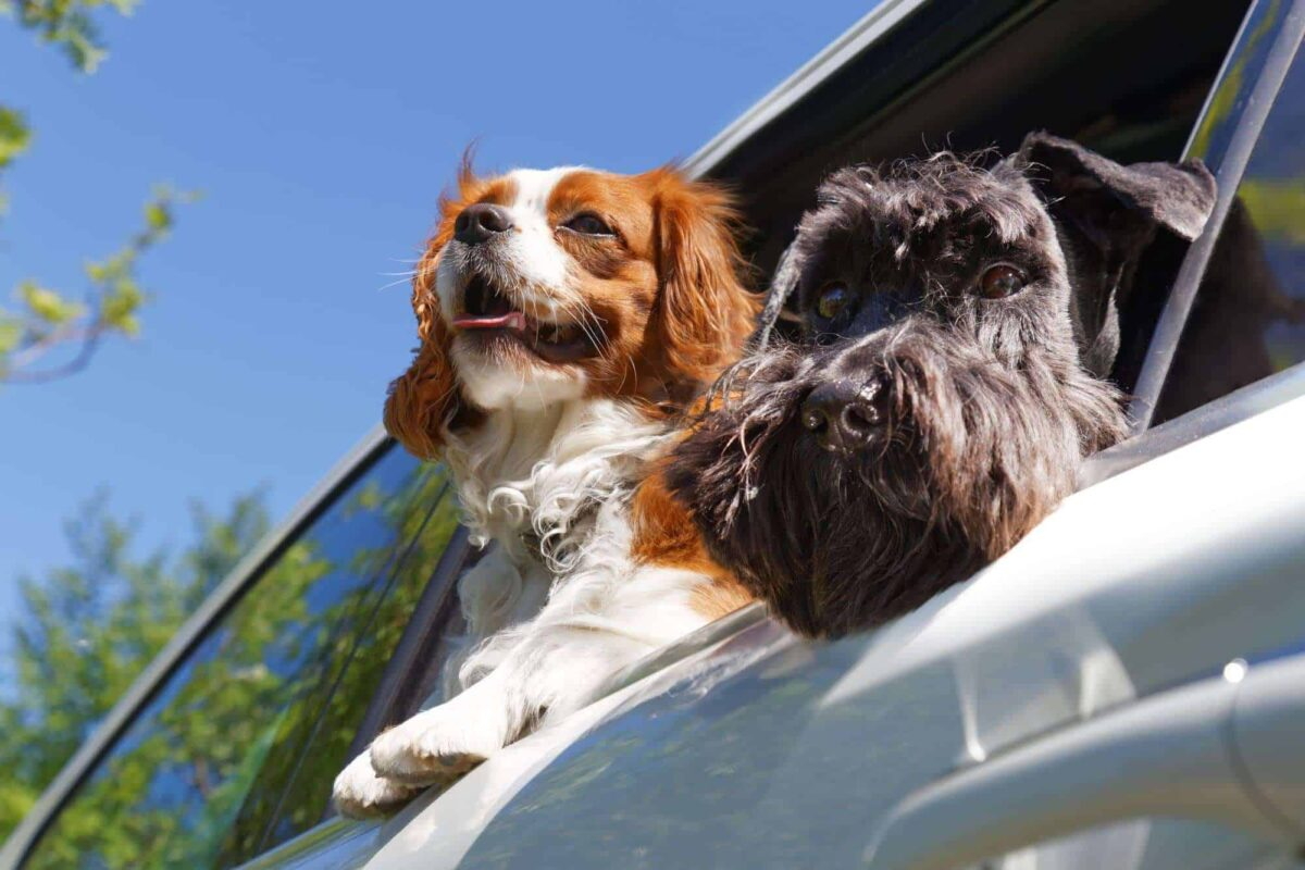 Two dogs look out the open car window. Removals to Spain